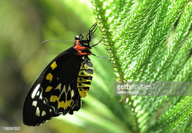 An Australian green birdwing butterfly in the Butterfly Conservatory at the American Museum of Natural History October 6 2011 in New York A group of...