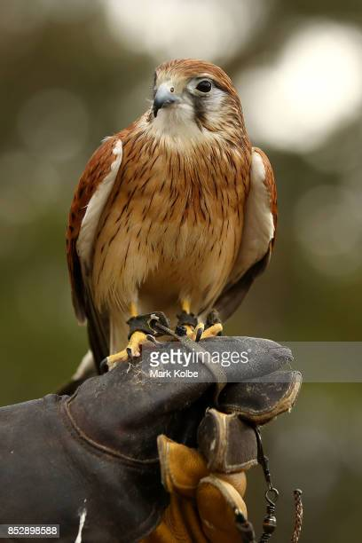 An Australian Kestrel is held during a Full Flight Birds of Prey show as part of the St Ives Medieval Faire on September 24 2017 in Sydney Australia...