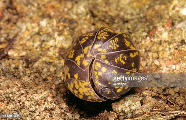 An Australian pillbug Spherillo sp a widespread and harmless Australian native pillbug that rolls into a ball as a defence strategy Sydney New South...