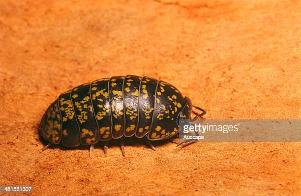 An Australian pillbug Spherillo sp unrolled a widespread and harmless Australian native pillbug that rolls into a ball as a defence strategy Sydney...