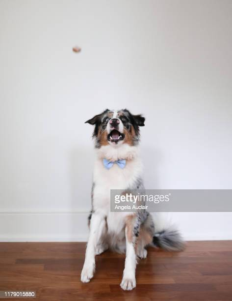 an australian shepherd dog catches a treat - before and after - angela auclair stock photos and pictures