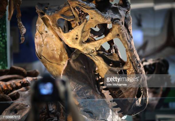 An authentic Tyrannosaurus rex skeleton is displayed during a press preview of the Smithsonian's National Museum of Natural History's newly reopened...