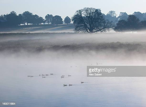 an autumn morning at pen ponds with ducks swimming across the pond. - alex saberi stock pictures, royalty-free photos & images