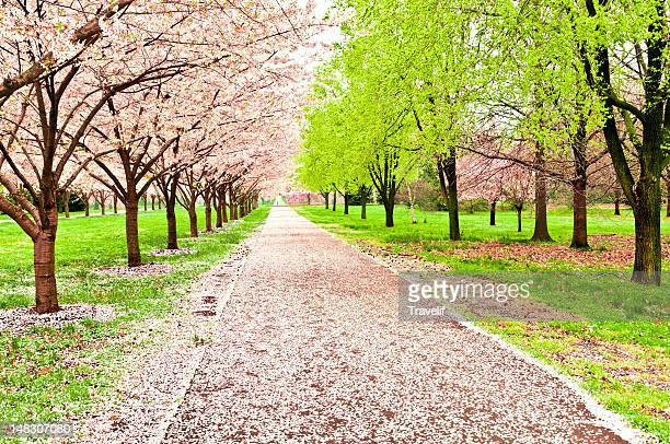 An avenue of blooming cherry trees in a park