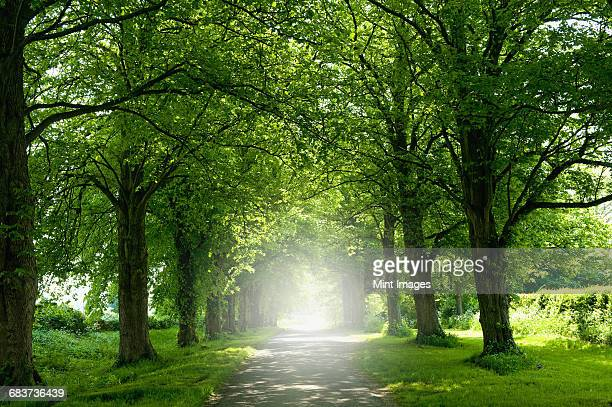 An avenue of trees in summer leaf foliage, and sun shining.