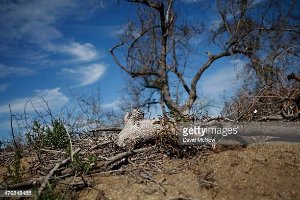 An avocado grove is left to wither due to the rising cost of water on March 5 2014 near Valley Center California The Chipotle restaurant chain 2013...