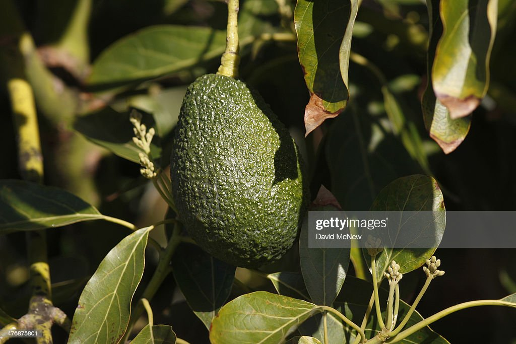 An avocado hangs from a tree at a farm in Pauma Valley on March 5, 2014 near Valley Center, California. The Chipotle restaurant chain 2013 annual report concludes that increasing weather volatility as well as weather pattern changes and global climate change could have a significant impact on the price or availability of some of their ingredients. As the costs of basics like avocados rise, Chipotle may reluctantly choose to temporarily drop some items from their menu such as guacamole and one or more salsas. Chipotle reportedly uses 97,000 pounds of avocados per day, about 35.4 million pounds per year.