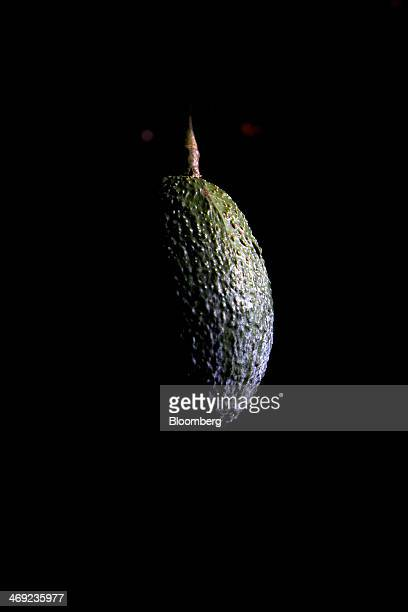 An avocado hangs from a tree during harvest at Stehly Farms Organics in Valley Center California US on Tuesday Feb 11 2014 California the country's...