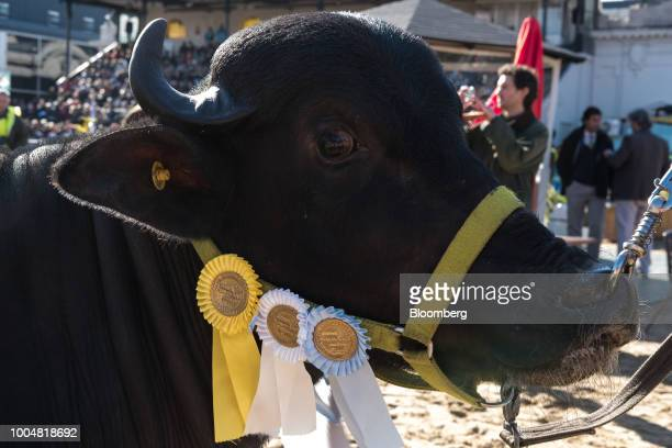An awardwinning bull stands in a show ring during La Exposicion Rural agricultural and livestock show in the Palermo neighborhood of Buenos Aires...