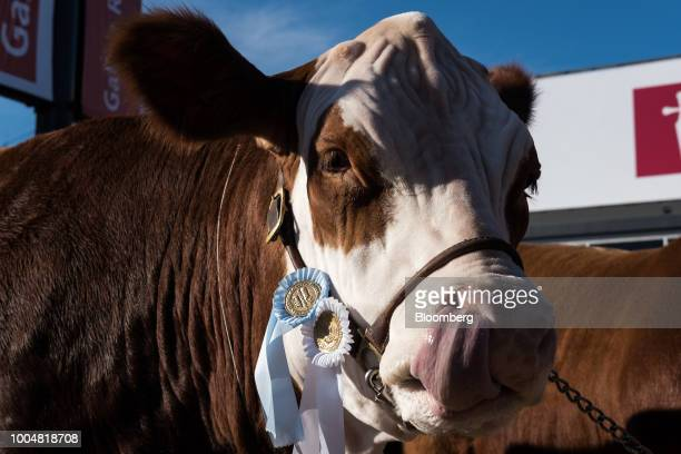 An awardwinning cow stands in a show ring during La Exposicion Rural agricultural and livestock show in the Palermo neighborhood of Buenos Aires...