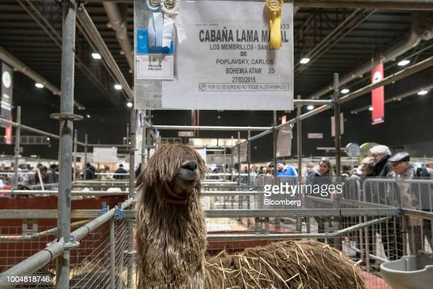 An awardwinning guanaco stands in the livestock pavilion during La Exposicion Rural agricultural and livestock show in the Palermo neighborhood of...
