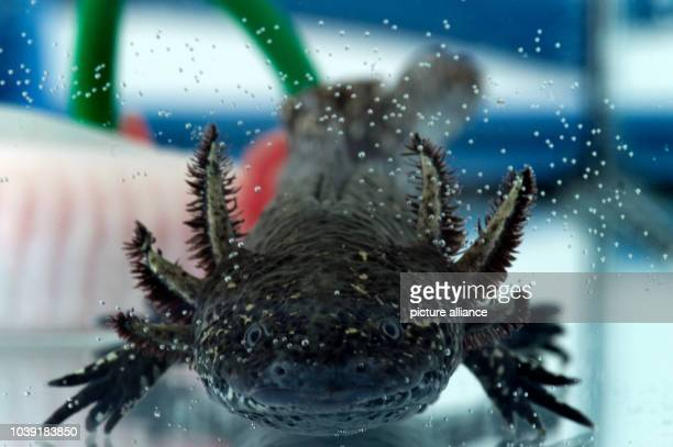 An axolotl also known as a Mexican salamander or a Mexican walking fish swims in a tank at the Center for Regenerative Therapies at the Technical...
