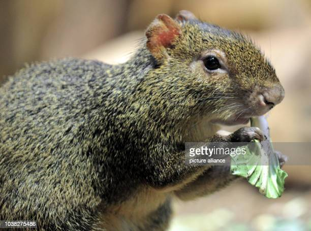 An Azara's agouti eats a leaf at Hellabrunn Zoo in MunichGermany 26 March 2013 Azara's agoutis are native to eastern South America and live in...