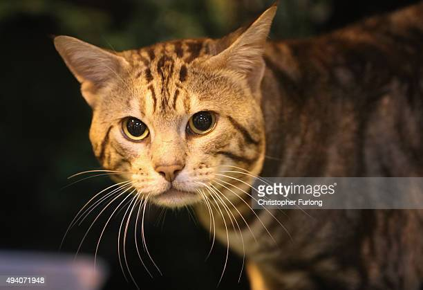 An Aztec cat peers from it's cage during the Governing Council of the Cat Fancy's 'Supreme Championship Cat Show' at the NEC Arena on October 24 2015...