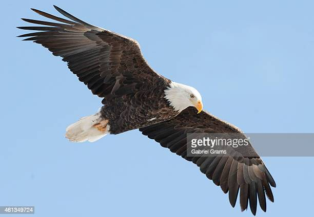 An bald eagle soars over the Mississippi River on January 11 2015 in Rock Island Illinois