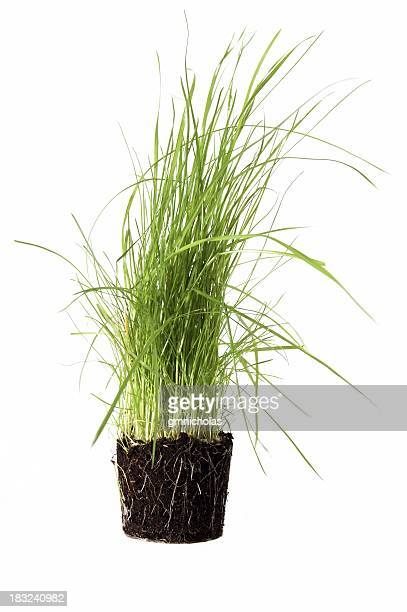 an bunch of grass removed from it's pot with roots attached - blade of grass stock pictures, royalty-free photos & images