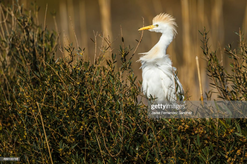 An cattle egret (Bubulcus ibis) on alert nesting in some shrubs in the marsh of the Camargue. : Stock Photo