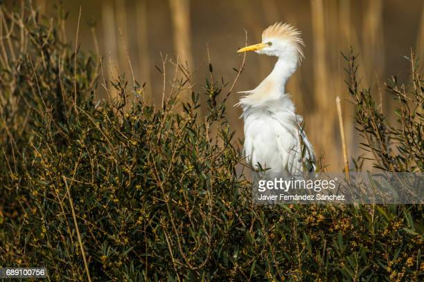 an cattle egret (bubulcus ibis) on alert nesting in some shrubs in the marsh of the camargue. - サントマリードラメール ストックフォトと画像