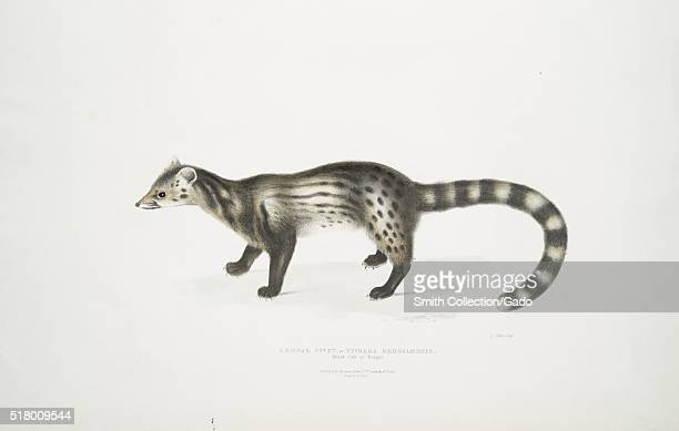 An colored illustration of the Bengal Civet cat this subspecies is find in South and Southeast India the image comes from the book Illustrations of...