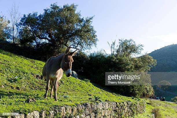 Aïn Draham, Jendouba Governorate, Tunisian Republic January 5, 2015. -- Donkey in the Ain Draham.