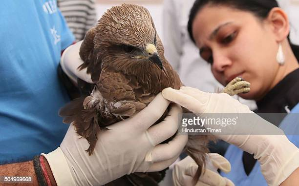 An eagle injured by Maanjha being treated by a veterinary doctor at a voluntary bird injury camp on January 14 2016 in Jaipur Rajasthan India Due to...