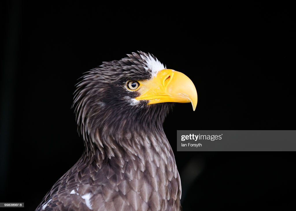 An eagle is displayed on a bird of prey stand during the final day of the 160th Great Yorkshire Show on July 12, 2018 in Harrogate, England. First held in 1838 the show brings together agricultural displays, livestock events, farming demonstrations, food, dairy and produce stands as well as equestrian events. The popular agricultural show is held over three days and celebrates the farming and agricultural community and their way of life.