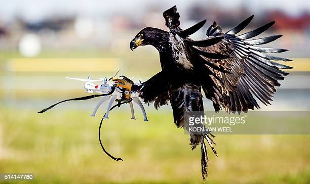 An eagle of the Guard from Above company grasps a drone during a police exercise in Katwijk on March 7 2016 The bird of prey can get drones from the...
