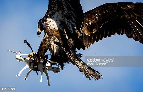 TOPSHOT An eagle of the Guard from Above company grasps a drone during a police exercise in Katwijk on March 7 2016 The bird of prey can get drones...