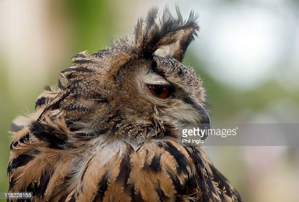 An eagle owl near the clubhouse during the second round of the Handa Senior Masters presented by the Stapleford Forum played at Stapleford Park on...