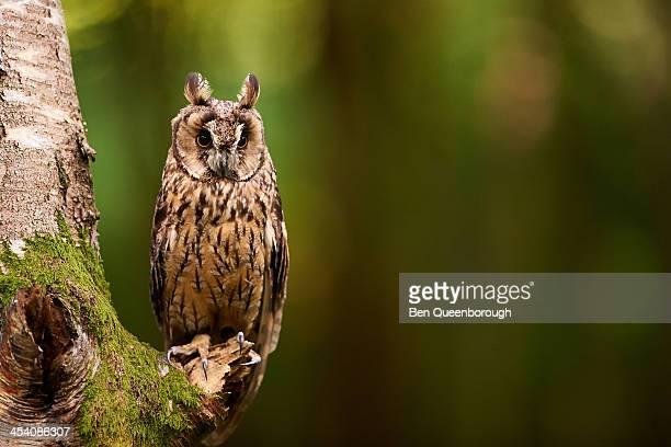 an eagle owl (bubo bubo) - hibou grand duc photos et images de collection