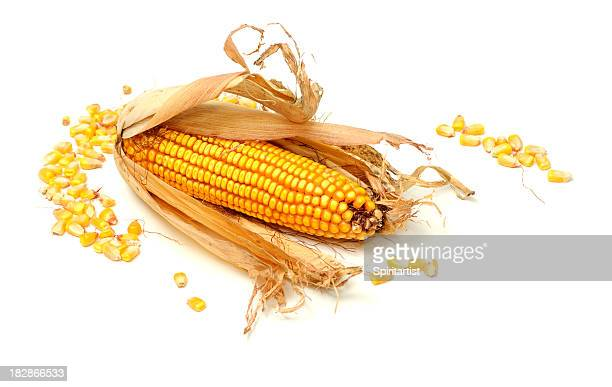 An ear of dried, unshucked corn with piles of corn kernels