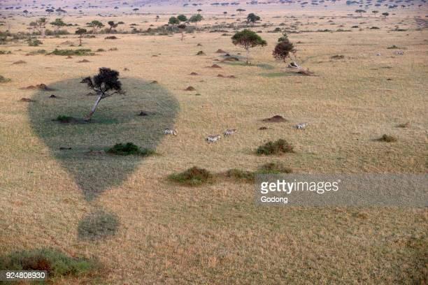 An early morning hot air balloon flight over the African savanna Balloon shadow Masai Mara game reserve Kenya