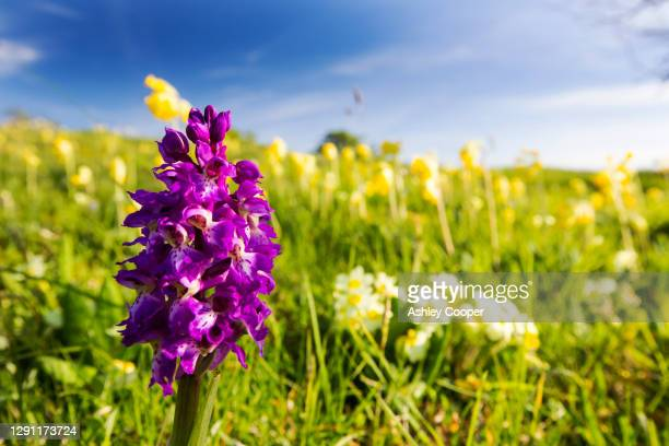 an early purple orchid (orchis mascula) growing amongst primroses and cowslips on a limestone scar in the yorkshire dales, uk. - limestone pavement stock pictures, royalty-free photos & images