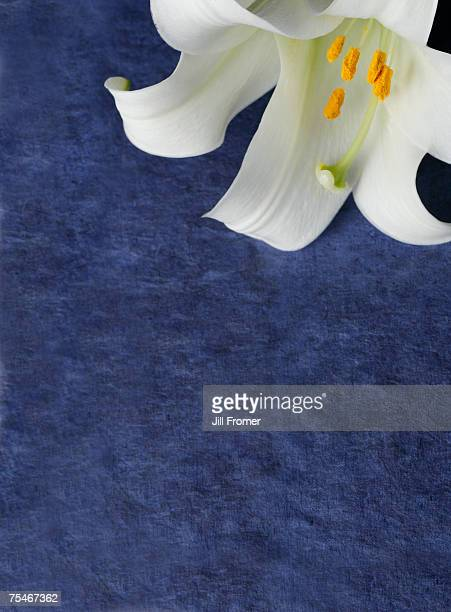 An easter lily on a blue textured background.