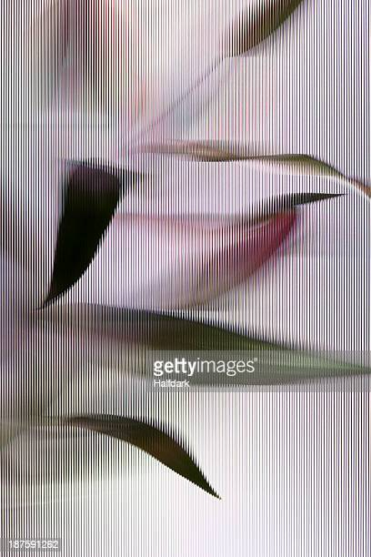 An Easter Lily (Lilium Longiflorum) plant viewed through beveled glass