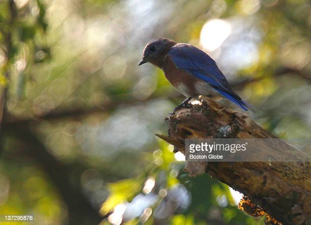 An Eastern Bluebird finds a perch on a tree close to several birdhouses put up to attract the birds at Drumlin Farm