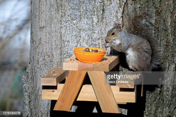 An Eastern Gray Squirrel eats some seeds and nuts from a bird feeder shaped like a picnic bench attached to a tree on April 16, 2020 in South Orange,...