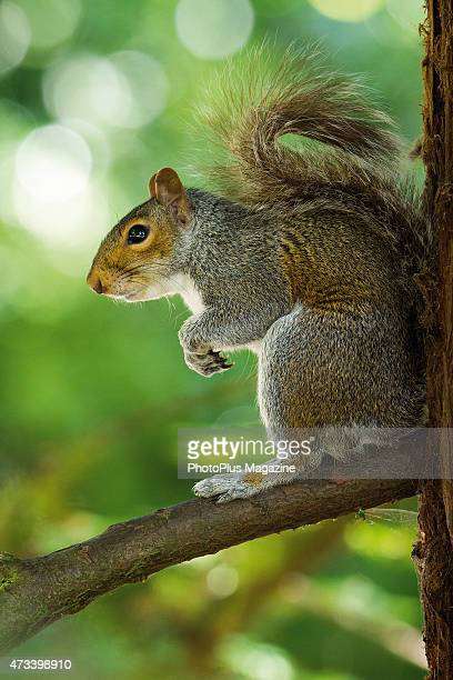 An eastern gray squirrel photographed on a tree branch taken on June 17 2014