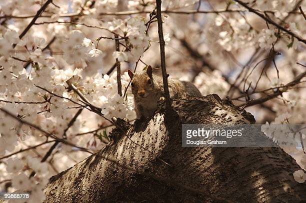 An eastern gray squirrel takes a nap during the warm weather in a cherry tree grove near Louisiana and D streets NW