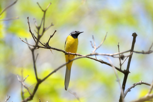 An Eastern Gray Wagtail - gettyimageskorea