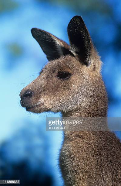 An Eastern Grey Kangaroo ( Macropus giganteus ) widespread in Eastern and Southern Australia
