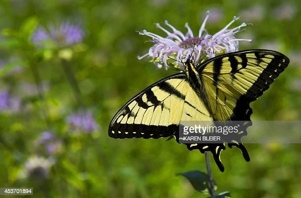 An Eastern Tiger Swallowtail is seen on a flower August 16 2014 in the Shenandoah National Park in Virginia AFP PHOTO / Karen BLEIER