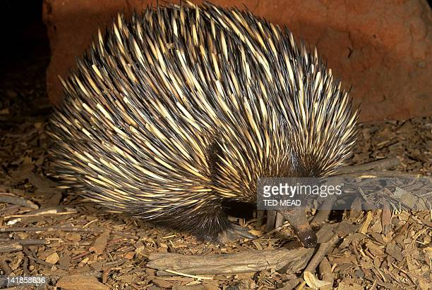 An Echidna ( Tachyglossus aculeatus ) is an egg laying mammal or monotreme found widespread in Australia.