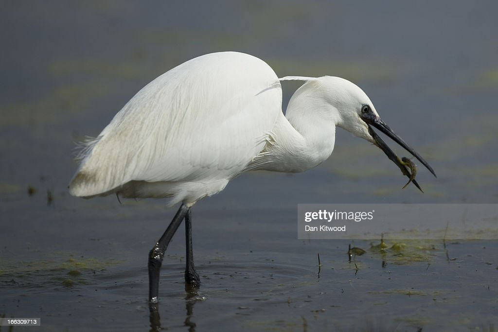 An Egret catches a fish at Elmley Marshes on April 7, 2013 in Sheerness, England. Many migrant species from continental Europe and North Africa will likely be arriving on UK shores as the prolonged cold climate that has gripped much of Britain recently makes way for milder and more seasonable weather. The RSPB's Elmley Marshes lies on the Isle of Sheppy, and is managed by the Elmley Conservation Trust. The three and a half acre reserve has the highest density of breeding waders in southern England including Avocet and Redshank. The area is also known to be one of the best sites in the UK to view birds of prey which include Peregrine Falcon, Marsh and Hen Harriers, Rough Legged Buzzards and Short Eared Owl.