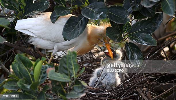 An egret feeds her chicks in a nest on the banks of the Brahmaputra River in the Panbazar area of Guwahati on May 4 2016 Each year at a similar time...