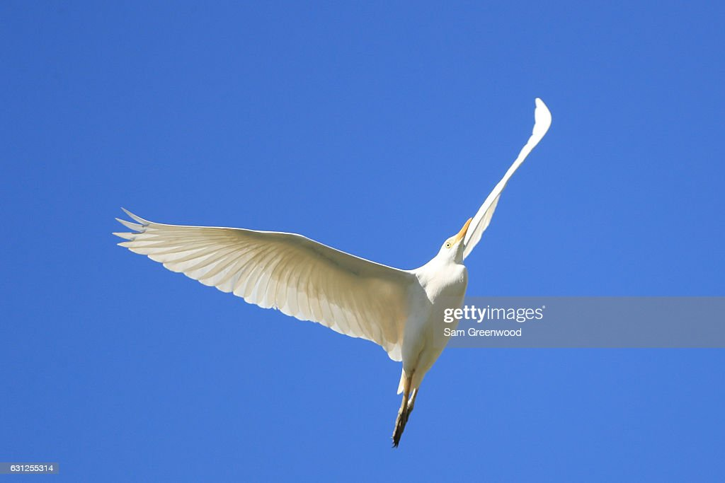 An egret flies during the final round of the SBS Tournament of Champions at the Plantation Course at Kapalua Golf Club on January 8, 2017 in Lahaina, Hawaii.