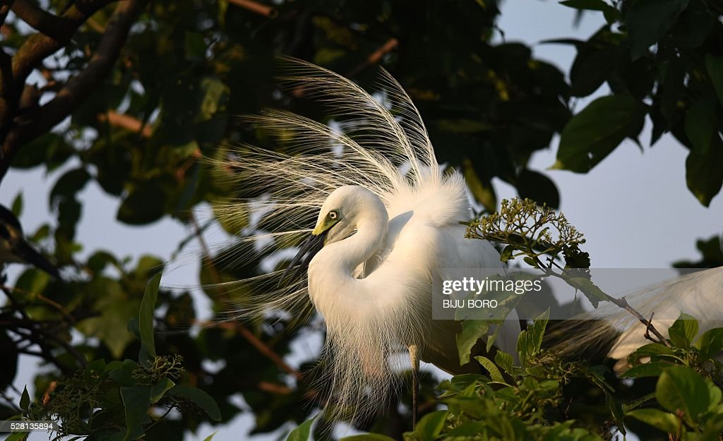 An egret perches on the branch of a tree on the banks of the Brahmaputra River in the Panbazar area of Guwahati on May 4, 2016. Each year at a similar time, thousands of egrets build their nests among trees in the populated area, a major business centre of the city. / AFP / Biju BORO