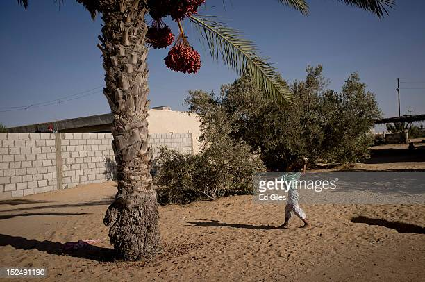An Egyptian bedouin boy throws a rock at ripe dates hanging from a palm tree in the village of Al Muqattah, in Egypt's restive North Sinai region,...
