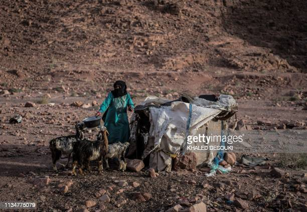 An Egyptian Bedouin herder feeds her stock in the village of alHamada in Wadi elSahu in South Sinai governorate on March 31 during the first Sinai...