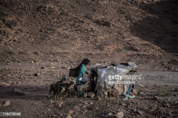 TOPSHOT An Egyptian Bedouin herder feeds her stock in the village of alHamada in Wadi elSahu in South Sinai governorate on March 31 during the first...